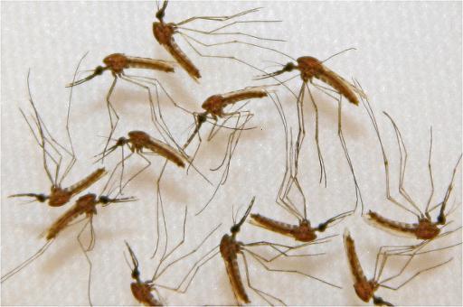 Paludisme moustique