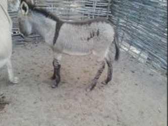 Un ânon né avec le nom d'Allah