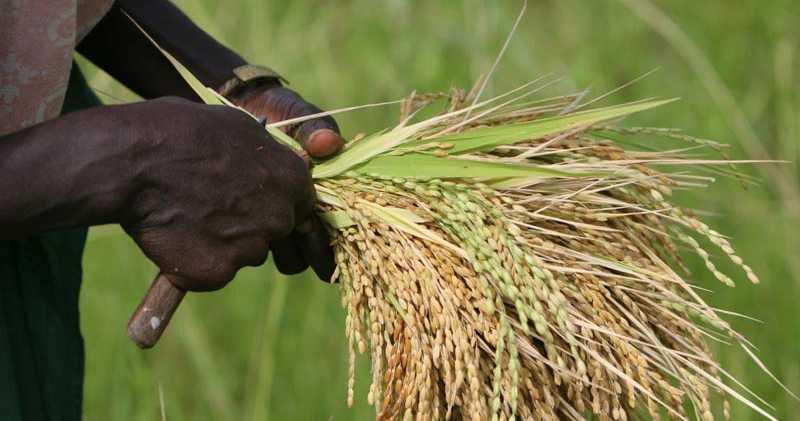 riz nerica kolda