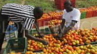 Domaine agricole communautaire Tomate maraichage