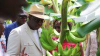 Tournée agricole : Macky Sall bichonne les producteurs de banane.-media-1
